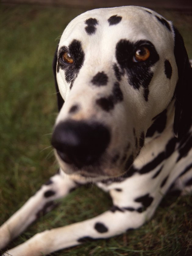 A close-up of a dalmatian looking at the viewer