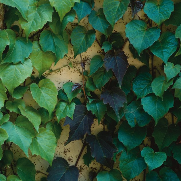 green crawling ivy spans up a faded yellow brick wall