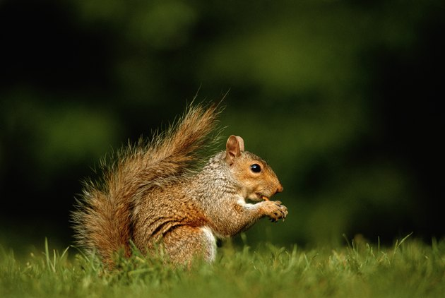 Squirrel, ground view, close-up