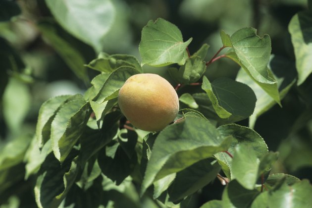 Apricot orchard with single fruit close-up, late Spring