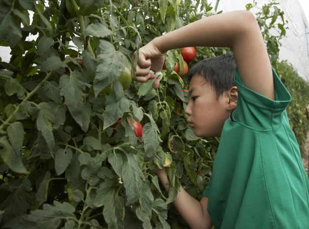 Japanese boy harvesting tomato