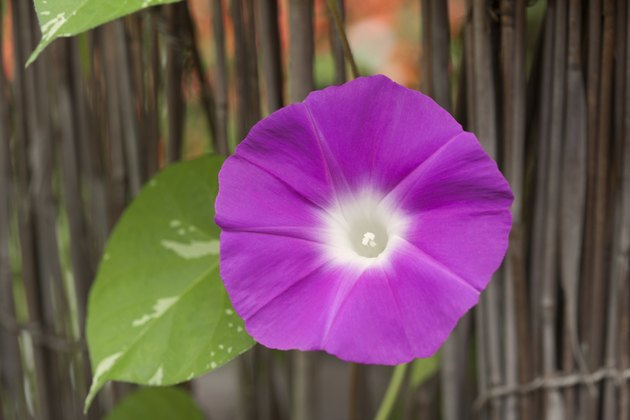 Flower of morning glory