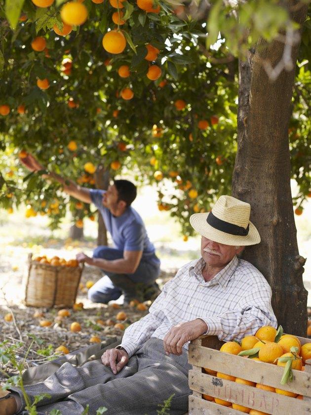 Senior man asleep in orchard, man picking fruit in background