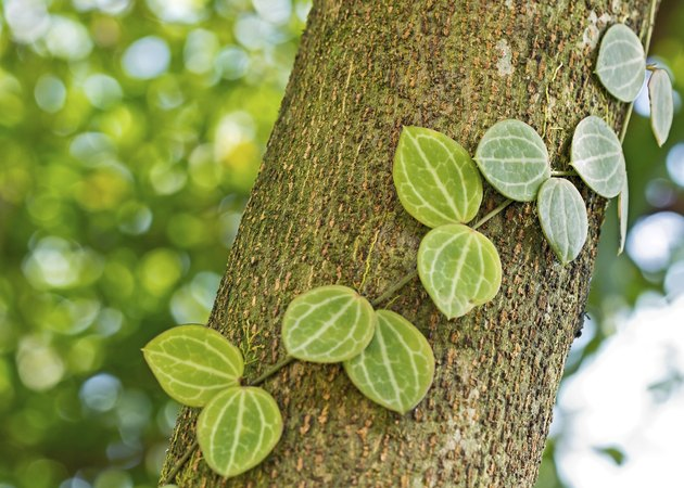 Creeper plants on tree trunk