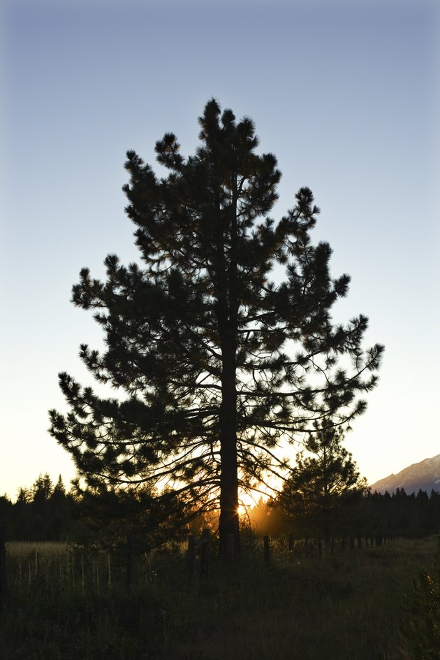 Tree at Mount Shasta, California