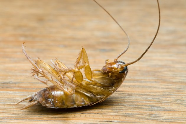 Dead  Cockroach isolated on wooden table