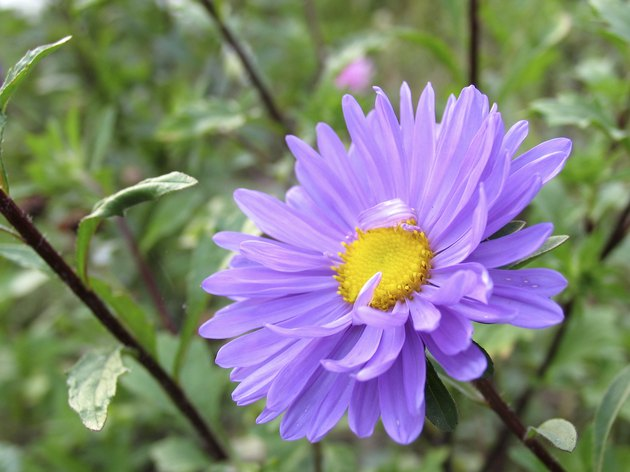 Delicate flower of aster