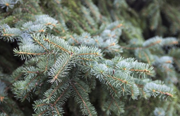 Evergreen branches of the Colorado blue spruce.
