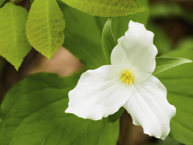 Trillium flower on the forest floor