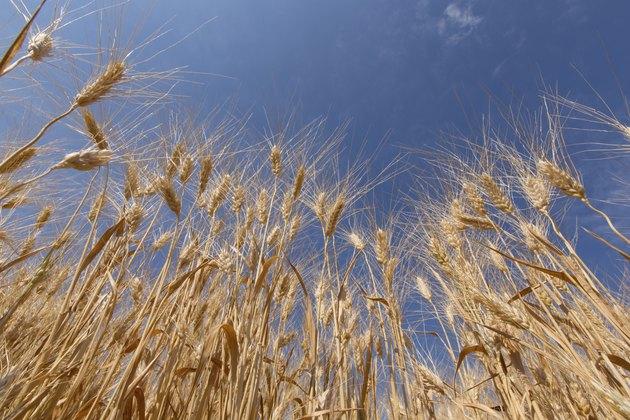 Golden barley against blue sky