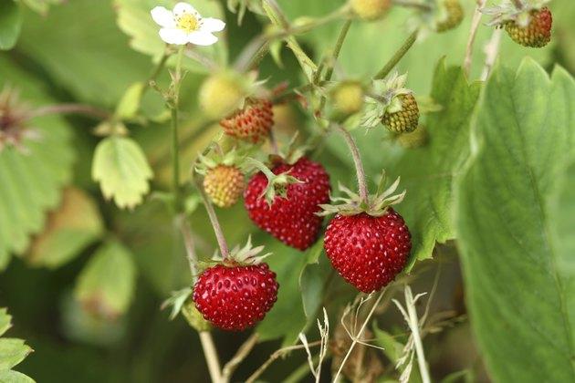 Wild strawberry bush