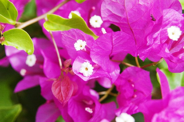 Close-up of bright pink Bougainvillaea.