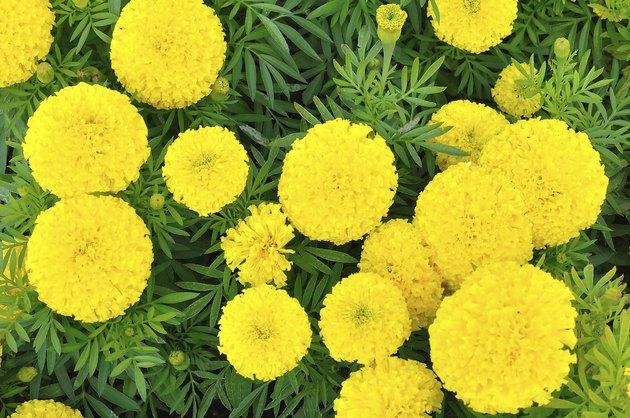 Marigold - Tagetes erecta L