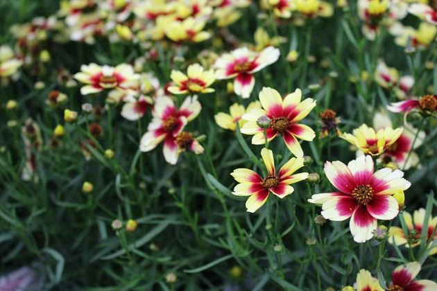Coreopsis flowers in bloom