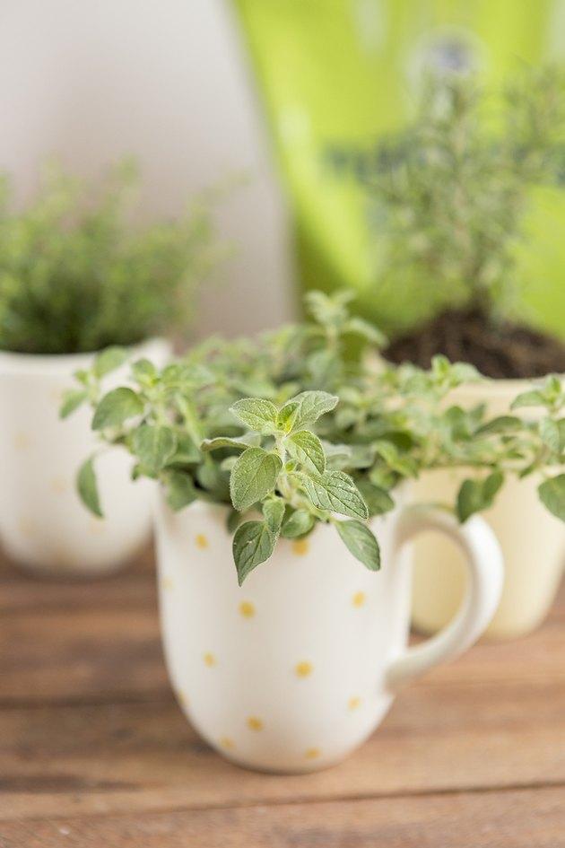 Planted mug with herbs.
