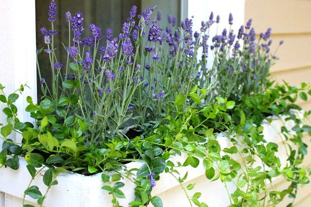 Lavender planted in window boxes