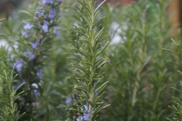 rosemary closeup