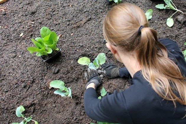 Planting cauliflower