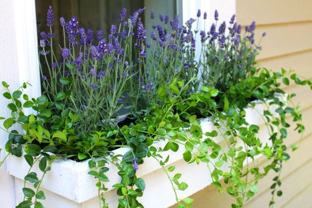 Lavender planted in window box