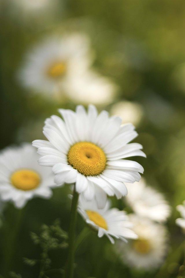 Close-up of daisies