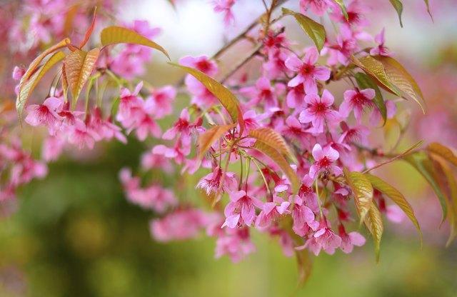 Full Bloom Cherry Blossom
