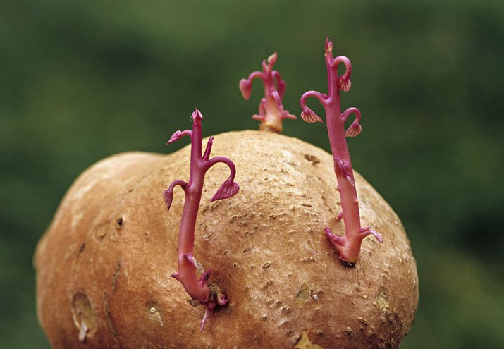 VEGETATIVE PROPAGATION. SWEET POTATO SPROUTING NEW PLANTS FROM THE EYES.  ASEXUAL REPRODUCTION.  Ipomoea batatas