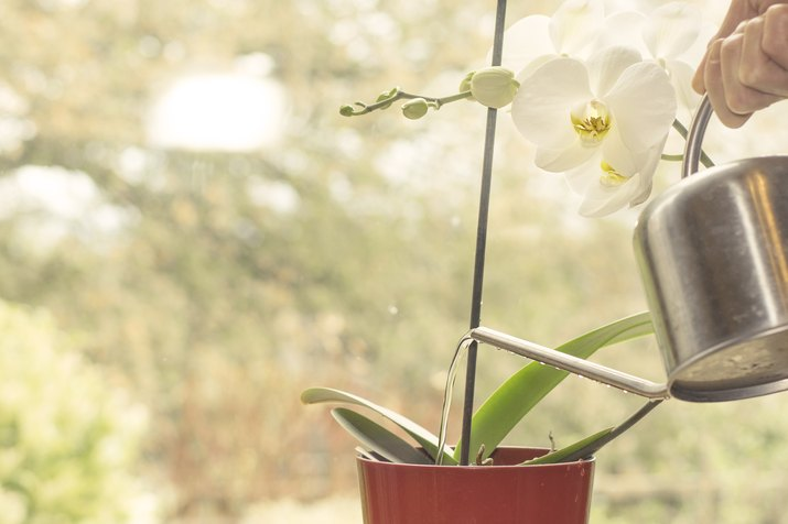 Watering Orchid plant