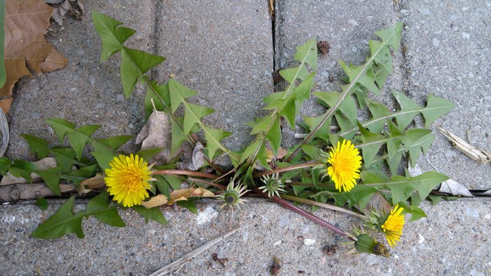 High Angle View Of Yellow Dandelions In Yard