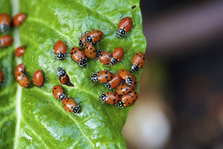 ladybugs on a chard leaf