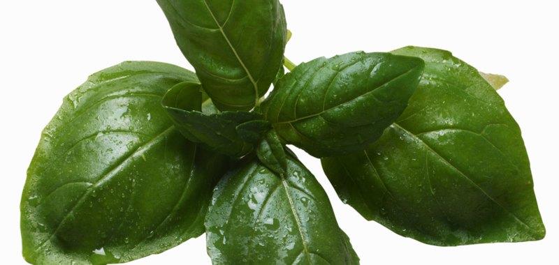 Close-up of basil