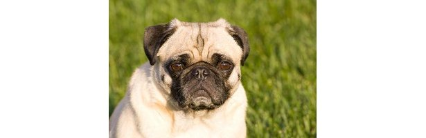 what is the lifespan of a pug what is the average life expectancy of a pug puppy ehow 1063